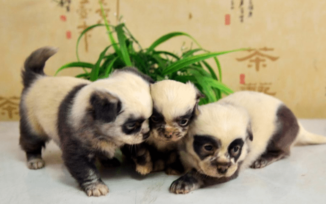 picture of 3 puppies with black and white markings resembling panda bears