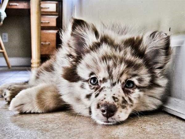 picture of furry dog with markings in multiple shades of grey and brown laying on the floor and looking at the camera