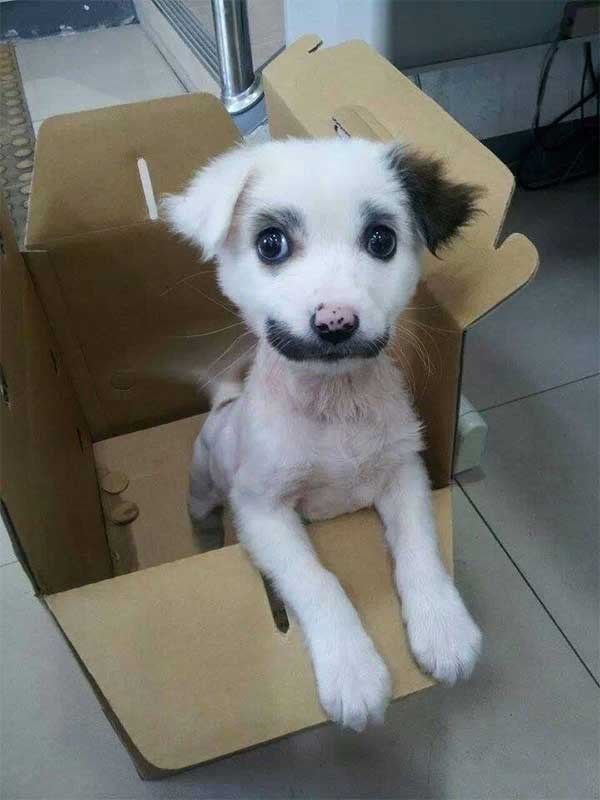 picture of white dog with black markings on its face that look like eyebrows and a mustache