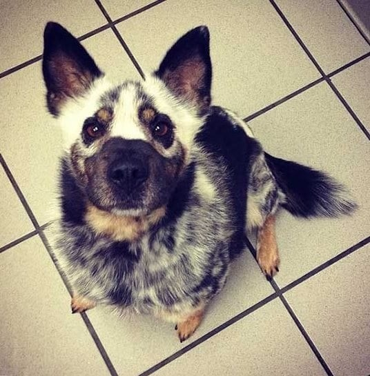 dog looking up at camera with white marks on face that look like its wearing a mask over its eyes