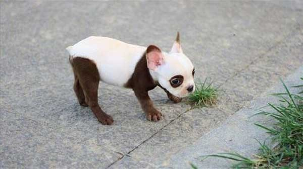 picture of puppy with a white and brown fur that resembles panda markings