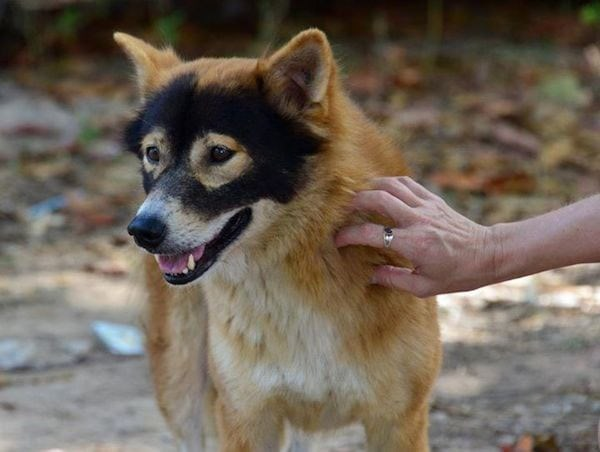 tan furred dog with black markings on face that look like a Zorro mask