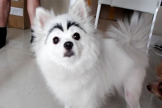 white furry dog with black marks above eyes that look like surprised eyebrows