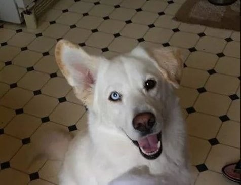 white dog with different colored eyes, one pale blue and one black