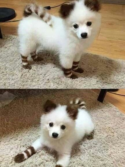 picture of dog with white fur and brown stripes on its tail and legs