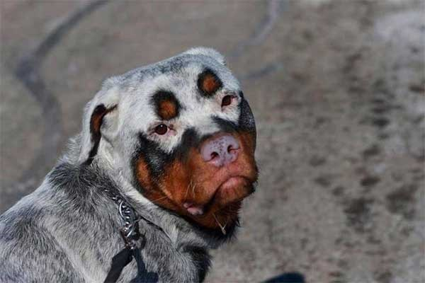 rottweiler with white markings over its fur that cover its eyes and back