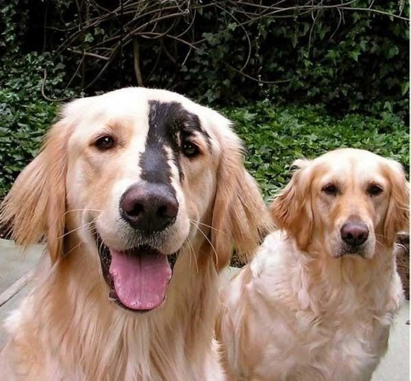 yellow Labrador with black mark on its face posing with another dog