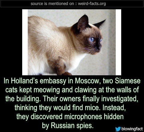 Cat - source is mentioned on weird-facts.org In Holland's embassy in Moscow, two Siamese cats kept meowing and clawing at the walls of the building. Their owners finally investigated, thinking they would find mice. Instead, they discovered microphones hidden by Russian spies. blowingfact