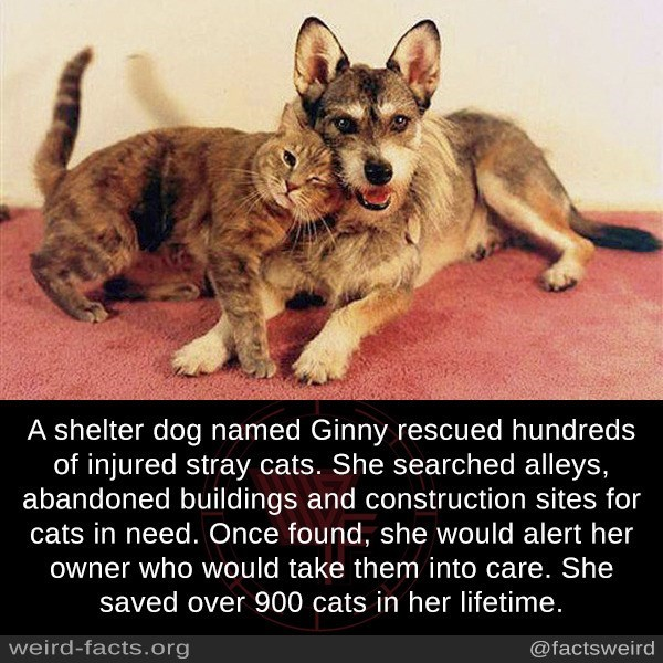 Mammal - A shelter dog named Ginny rescued hundreds of injured stray cats. She searched alleys, abandoned buildings and construction sites for cats in need. Once found, she would alert her owner who would take them into care. She saved over 900 cats in her lifetime. weird-facts.org @factsweird
