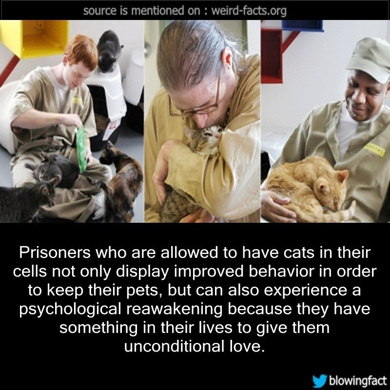 Photo caption - source is mentioned on : weird-facts.org 35141 Prisoners who are allowed to have cats in their cells not only display improved behavior in order to keep their pets, but can also experience a psychological reawakening because they have something in their lives to give them unconditional love. blowingfact
