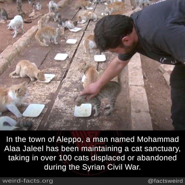 Adaptation - In the town of Aleppo, a man named Mohammad Alaa Jaleel has been maintaining a cat sanctuary, taking in over 100 cats displaced or abandoned during the Syrian Civil War. weird-facts.org @factsweird