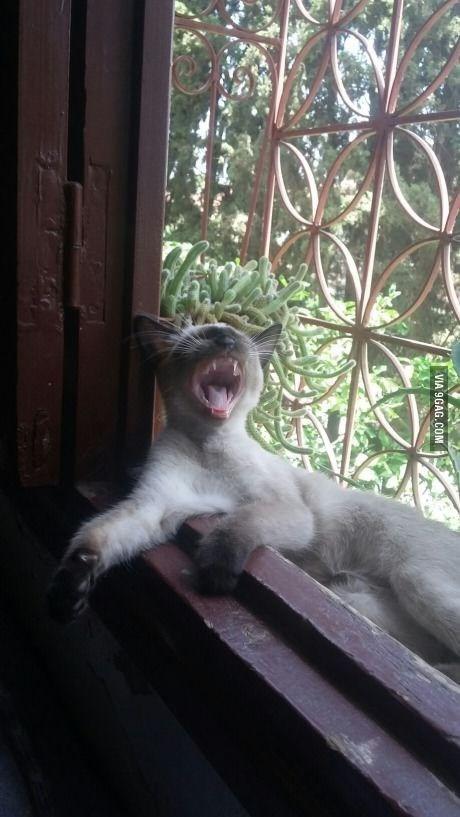 pic of a cat yawning on a windowsill