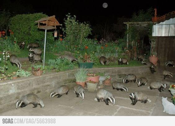 wrong neighborhood meme of raccoons and one cat