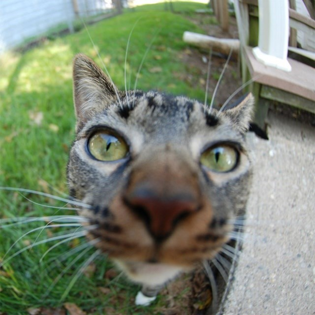 cat staring into lens while outside in a backyard