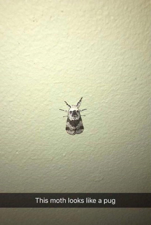 confusing perspective of a moth that looks like a pug