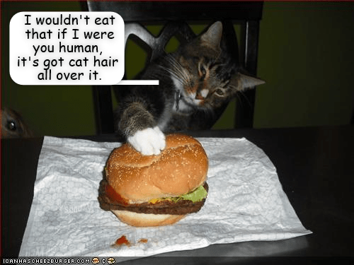 Cat - I wouldn't eat that if I were you human, it's got cat hair all over it. ICANHASCHEE2EURGER COM