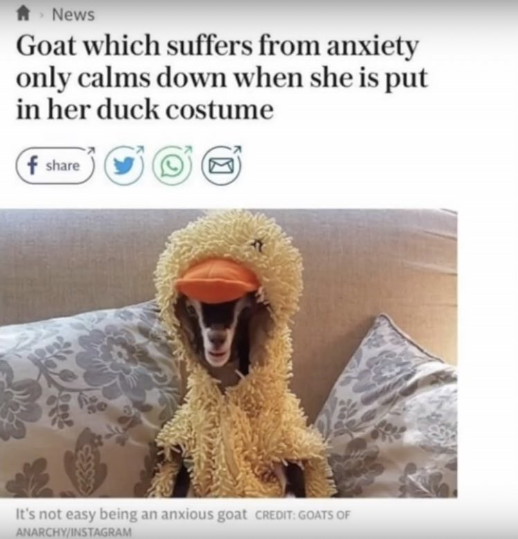 wholesome meme of a goat who is only calm when it wears a duck costume
