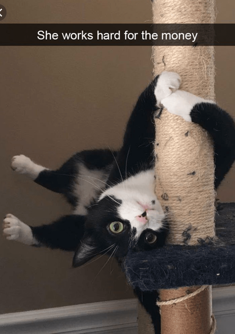 cat meme of a cat doing tricks on a scratching pole