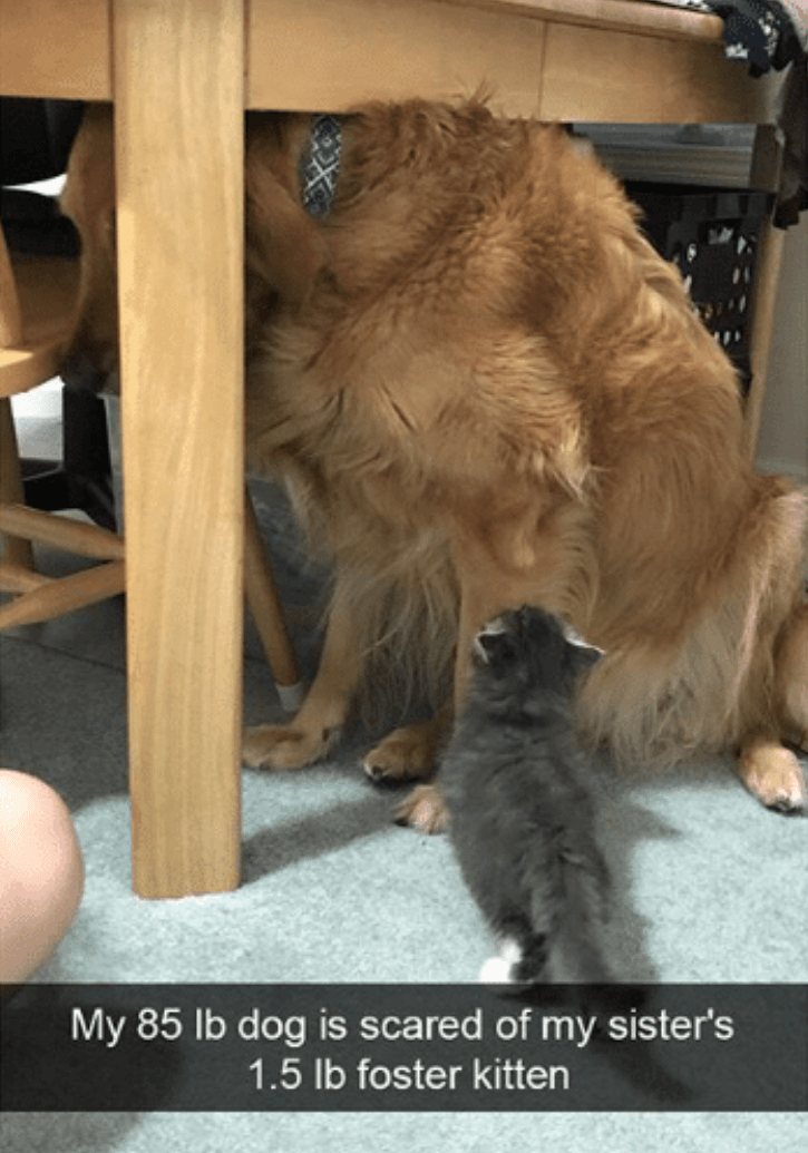 "Snapchat text overlay that reads, ""My 85lb dog is scared of my sister's 1.5lb foster kitten"" over a pic of a golden retriever hiding from a little kitten under a table"