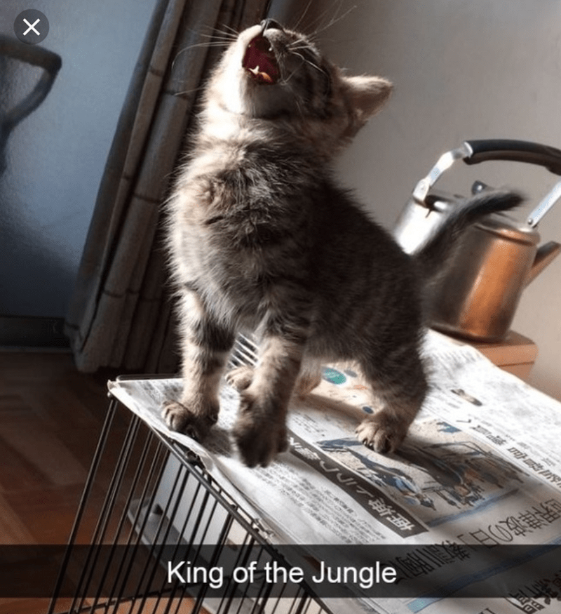 cat meme of a cat yawning while standing on its back paws