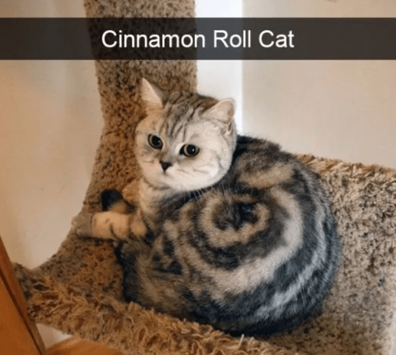 cat meme of a cat who's body looks like a cinnamon roll when it's curled up