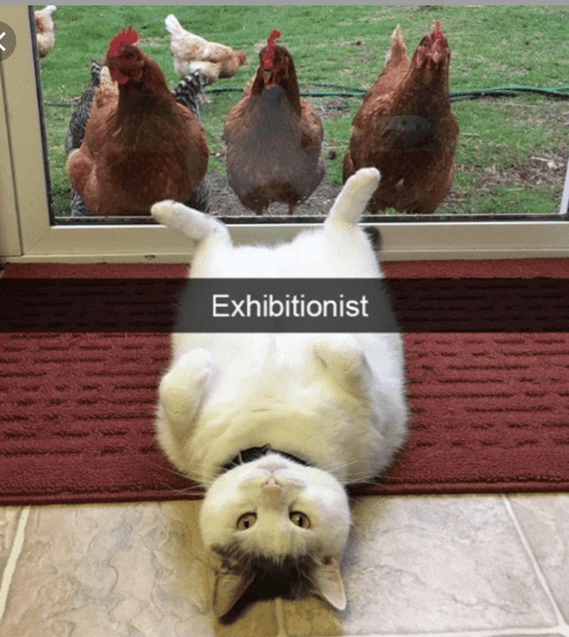 "Snapchat text overlay that reads, ""Exhibitionist"" over a pic of a cat lying with its legs spread in the air in front of some chickens on the other side of a glass door"