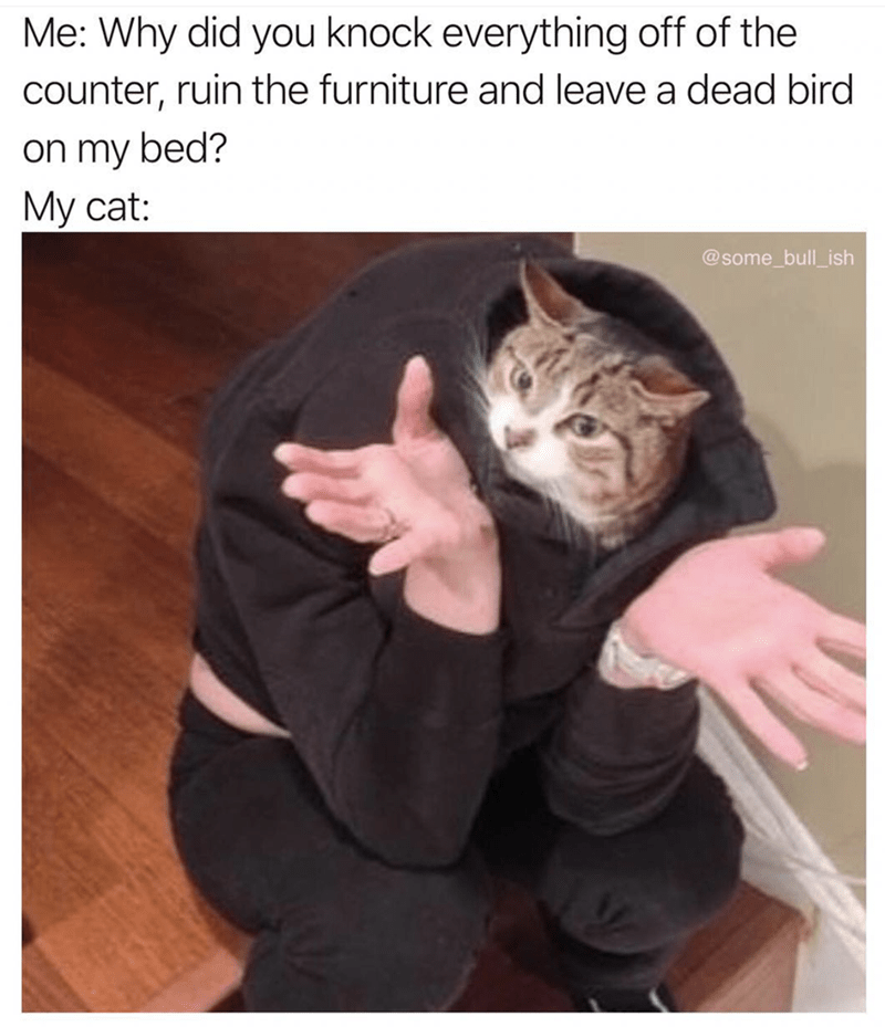 cat meme about asking your cat why he behaves the way he does