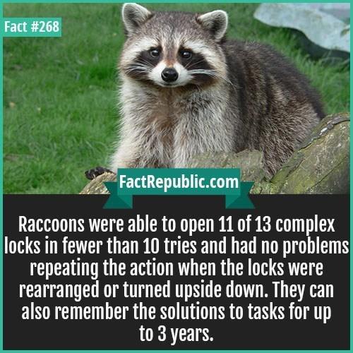 weird fact about raccoons being intelligent