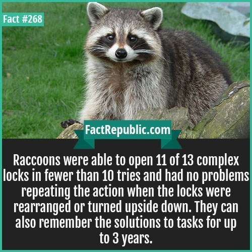 Procyon - Fact #268 FactRepublic.com Raccoons were able to open 11 of 13 complex locks in fewer than 10 tries and had no problems repeating the action when the locks were rearranged or turned upside down. They can also remember the solutions to tasks for up to 3 years.
