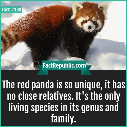 Mammal - Fact #138 FactRepublic.com The red panda is so unique, it has no close relatives. It's the only living species in its genus and family.