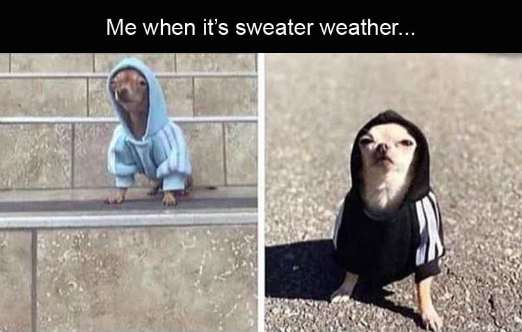 Meme about sweater weather with pics of chihuahua dogs in hoodies