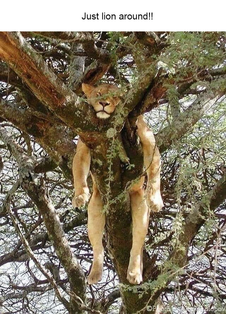 """Pun about the word """"lion"""" sounding like """"laying"""" with pic of lioness sleeping in a tree"""