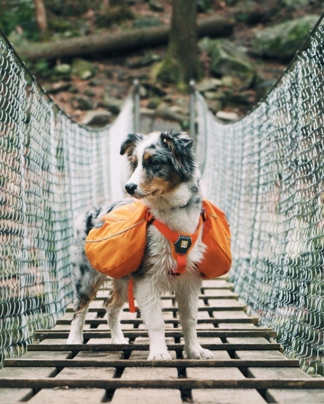 puppy wearing hiking gear over a bridge