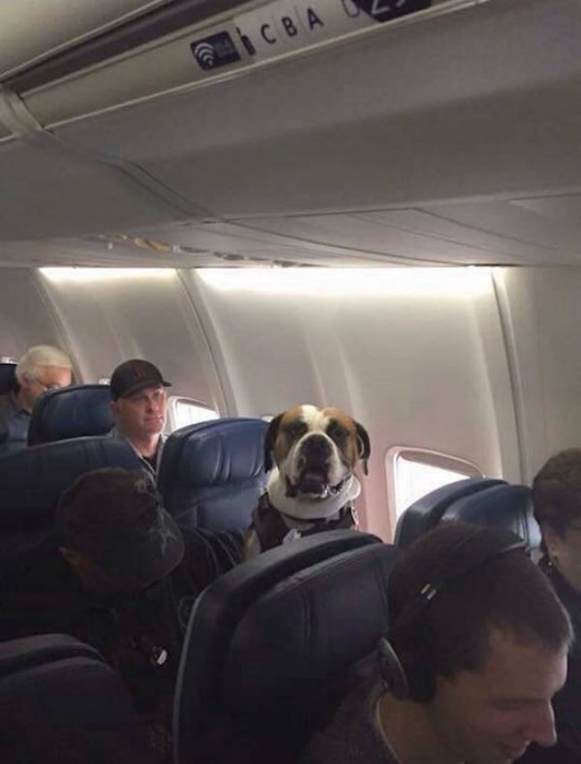 pic of a dog wearing a seat-belt on a plane