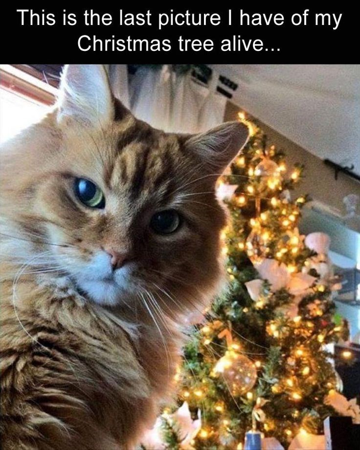 cat meme about pets destroying Christmas decorations with photo of cat looking ominously at camera in front of a Christmas tree