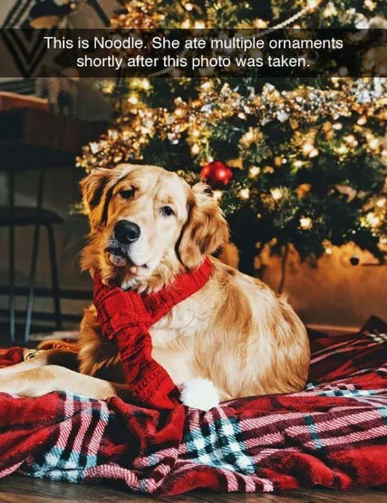 golden retriever dog meme about dog having professional holiday photo taken then eating the decor