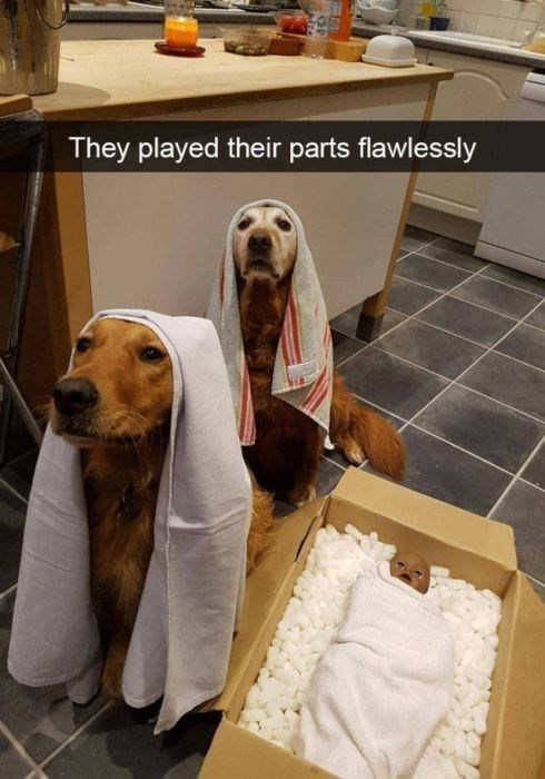 dog meme about pets acting out a Nativity play with picture of dogs wearing towels over heads