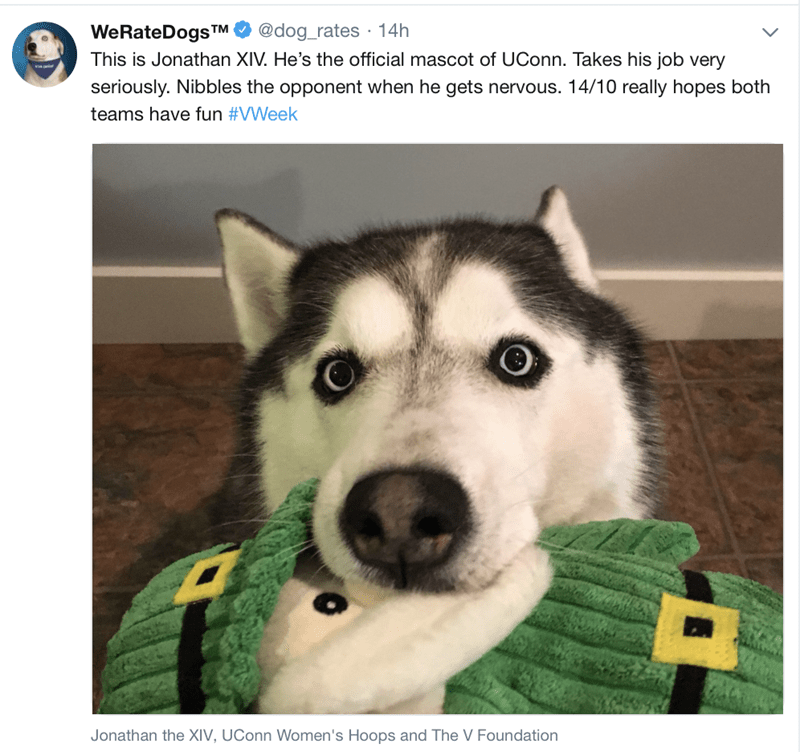 "Caption that reads, ""This is Jonathan XIV. He's the official mascot of UConn. Takes his job very seriously. Nibbles the opponent when he gets nervous. 14/10 really hopes both teams have fun"" above a pic of a cute husky chewing on a toy"