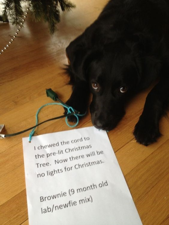Dog breed - I chewed the cord to the pre-lit Christmas Tree. Now there will be no lights for Christmas. Brownie (9 month old lab/newfie mix)