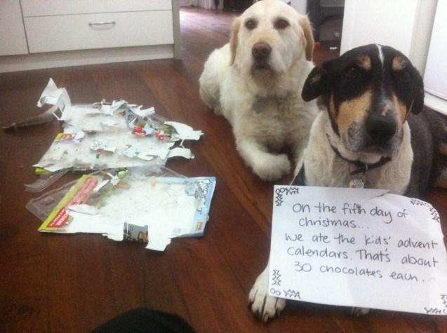 Dog - on the fifth dan of christmas... we ate the kids' advent calendars. Thats about 30 cnocolates eaun Oo YA