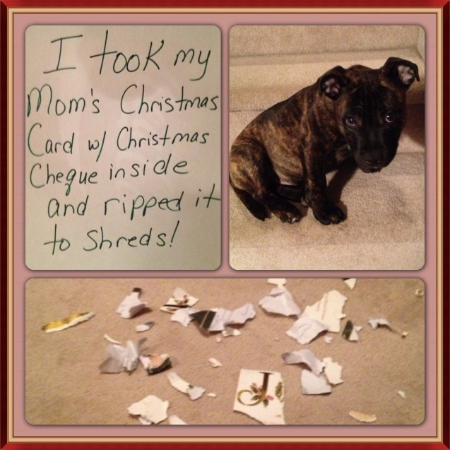 Canidae - I took my mom's Christras Card w/ Christmas Chegue in sidle and ripped it to Shreds!