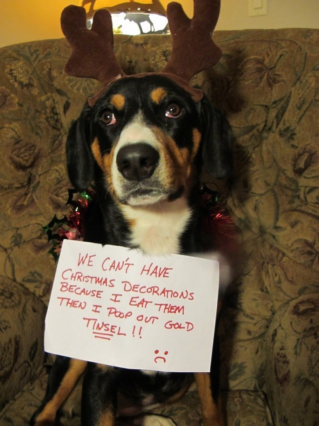Dog - WE CANT HAVE CHRISTMAS DECORATIONS BECAUSE I EAT THEM THEN I POOP oUT GOLD TINSEL !!