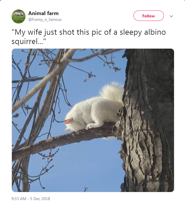 """Adaptation - Animal farm Follow @Funny_n_Serious """"My wife just shot this pic of a sleepy albino squirrel..."""" 9:33 AM -5 Dec 2018"""