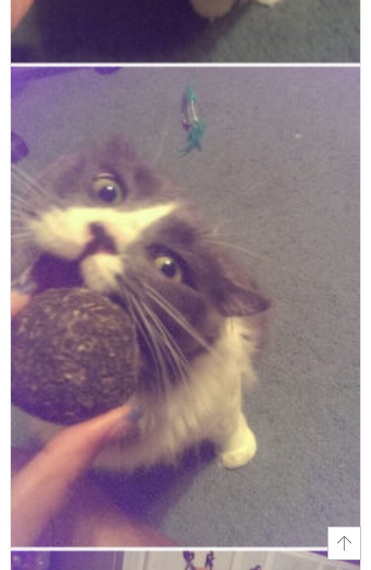 cat bites the ball of catnip from its owner