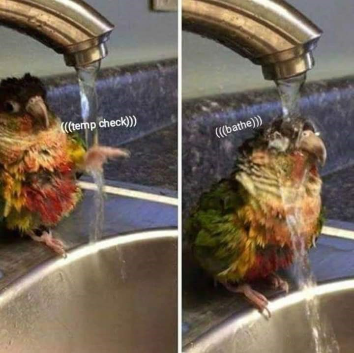 bird meme of parrot checking water temperature before bathing