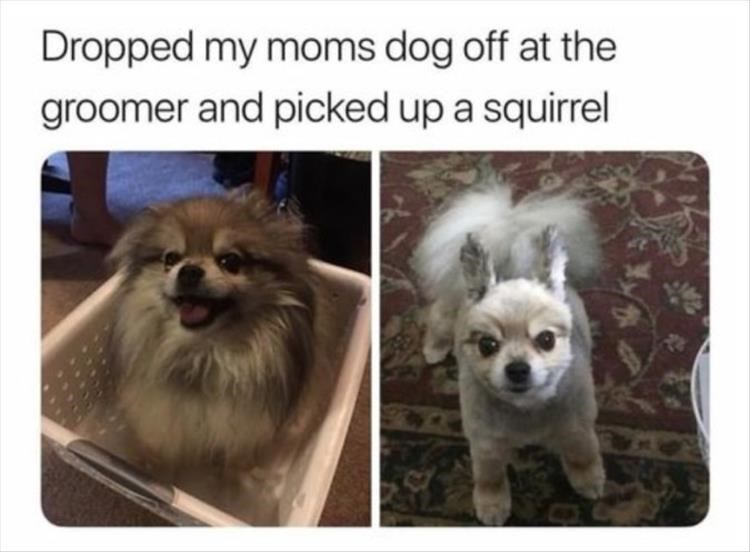 before and after pics of a dog who got a squirrel haircut