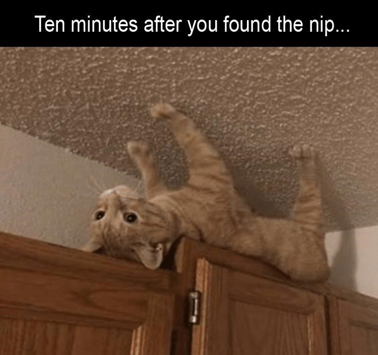 meme about getting into the catnip with pic of cat walking on the ceiling