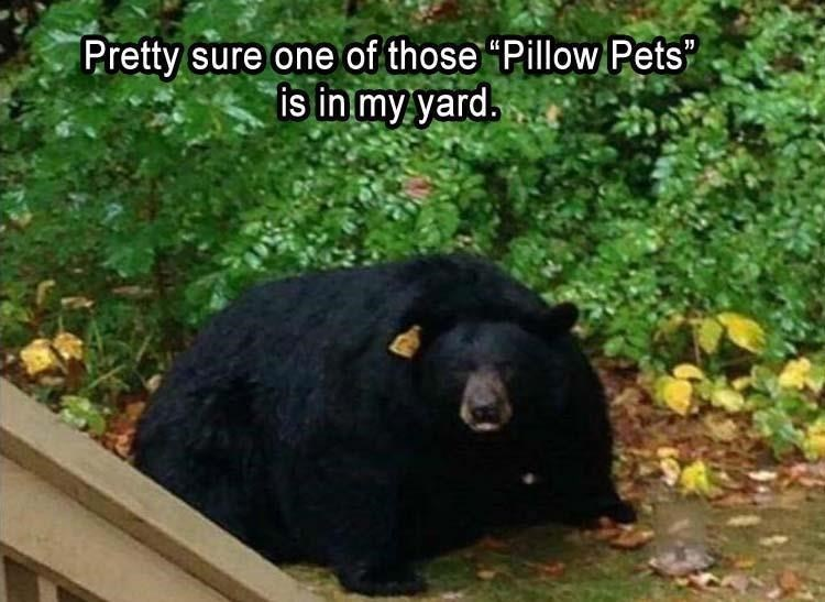 pic of large overweight bear that resembles a Pillow Pet