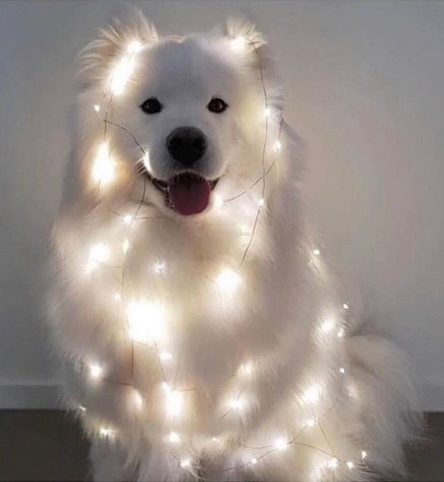 aww samoyed cute doggo happy dog beautiful - 9246136832