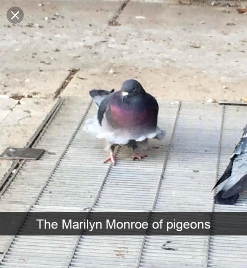 pigeon marilyn monroe funny - 9246179072